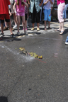 Frog Jumping Contest